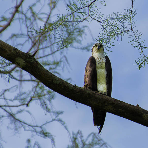 Photograph - Osprey by Dillon Kalkhurst
