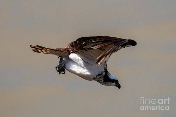 Wall Art - Photograph - Osprey Dive by Mike Dawson