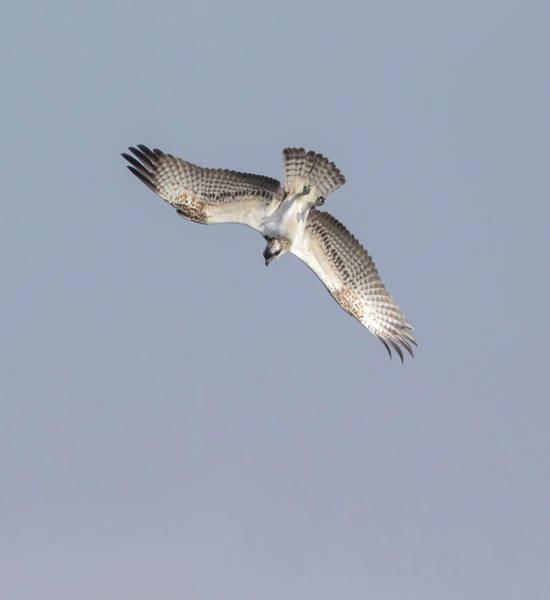 Photograph - Osprey Diving by Peter Walkden