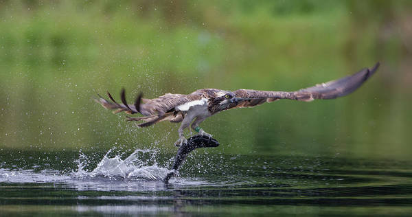 Photograph - Osprey Drags Trout by Peter Walkden