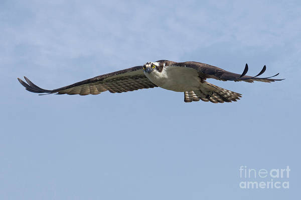 Photograph - Osprey Eye Contact by Craig Leaper