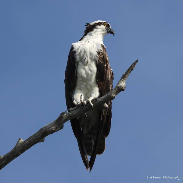 Photograph - Osprey Eyeing The Gulf by Barbara Bowen
