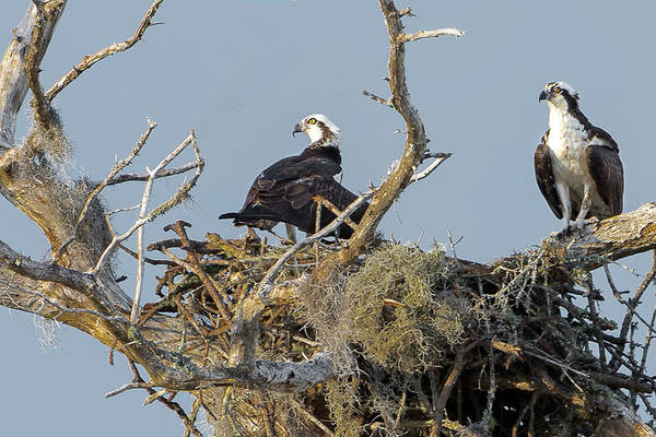 Photograph - Osprey Family by Norman Peay