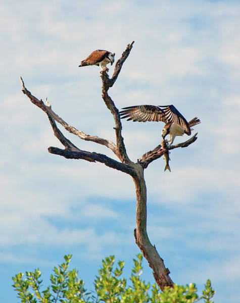 Photograph - Osprey Feast by Karl Ford