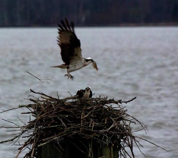 Photograph - Osprey Feeding by Buddy Scott