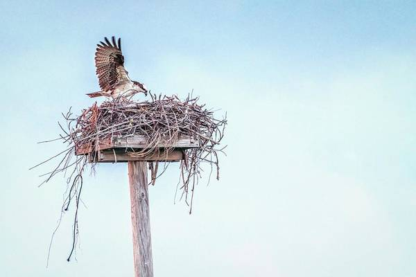 Photograph - Osprey Feeding by Framing Places