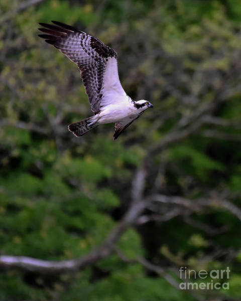 Photograph - Osprey Flapping Wings In Flight by Cynthia Staley