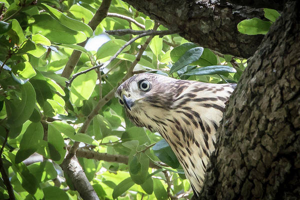 Red-shouldered Hawk Fledgling - 5 Art Print