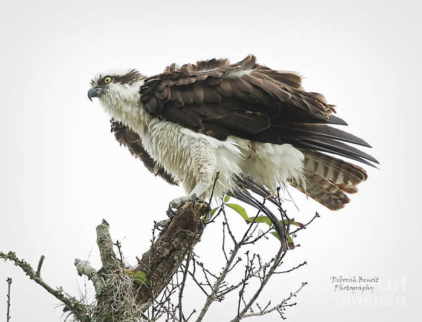 Wall Art - Photograph - Osprey Fluff by Deborah Benoit