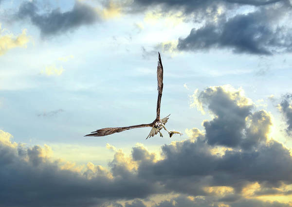 Photograph - Osprey Flying In Clouds At Sunset With Fish In Talons by Patrick Wolf