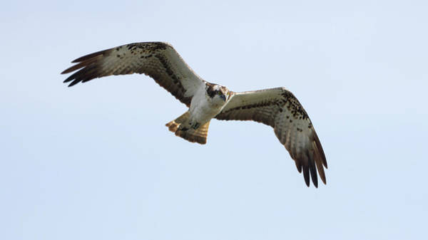 Photograph - Osprey Flying by Peter Walkden