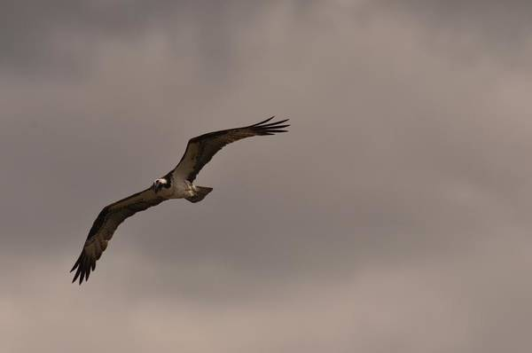 Photograph - Osprey by Frank Madia