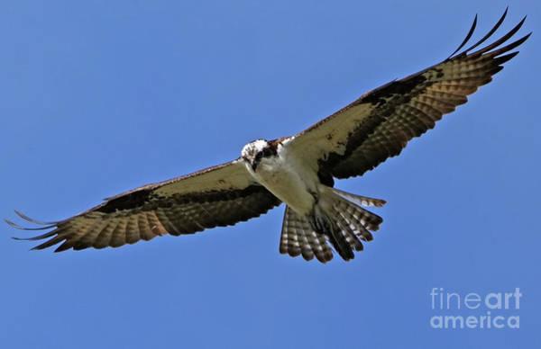 Photograph - Osprey Glide by Sue Harper