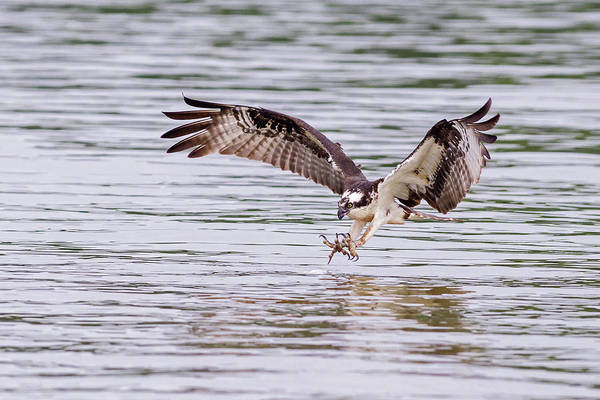 Photograph - Osprey Going For Breakfast by Lori Coleman