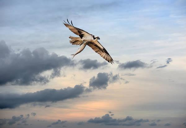Photograph - Osprey High by Patrick Wolf