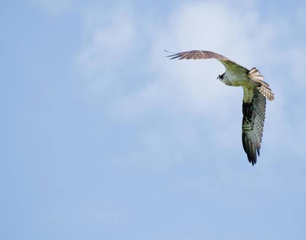 Photograph - Osprey II by David Waldrop