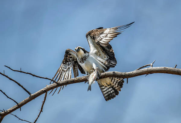 Photograph - Osprey In A Tree Holding A Fish In Talons by Patrick Wolf