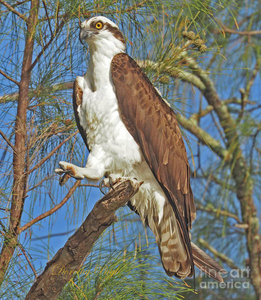 Photograph - Osprey In An Australian Pine by Dorothy Pugh
