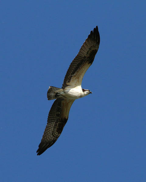 Photograph - Osprey In Blue Sky by William Selander