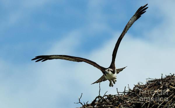 Wall Art - Photograph - Osprey In Flight by Bob Christopher