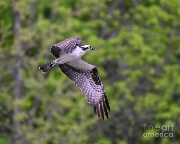Photograph - Osprey In Flight by Cynthia Staley