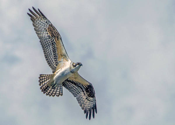 Wall Art - Photograph - Osprey In Flight by Dawn Key
