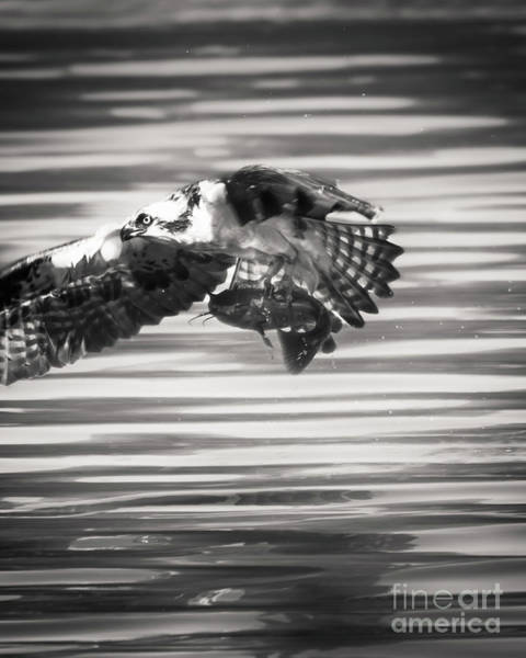 Photograph - Osprey In Flight by Michael McStamp