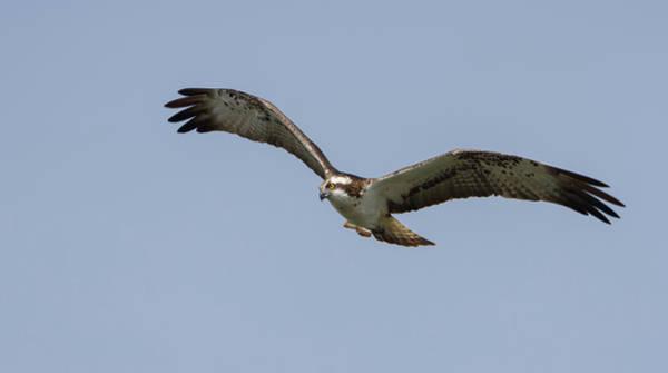 Photograph - Osprey In Flight by Peter Walkden