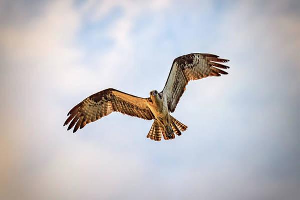 Photograph - Osprey In Flight by Rick Berk