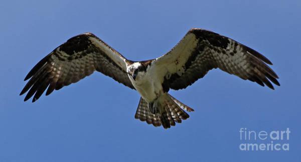 Photograph - Osprey In Flight by Sue Harper