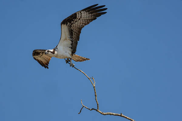 Photograph - Osprey In Flight With Stick For Nest 031620160906 by WildBird Photographs