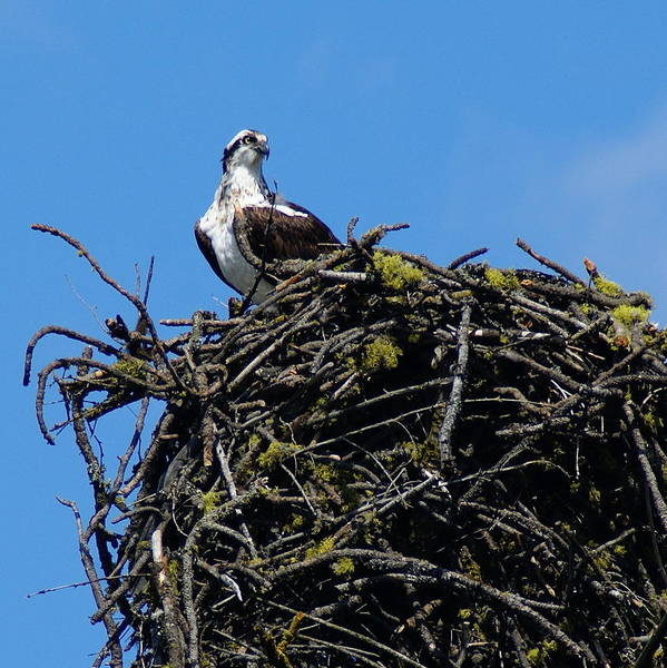 Photograph - Osprey In Nest by Ben Upham III