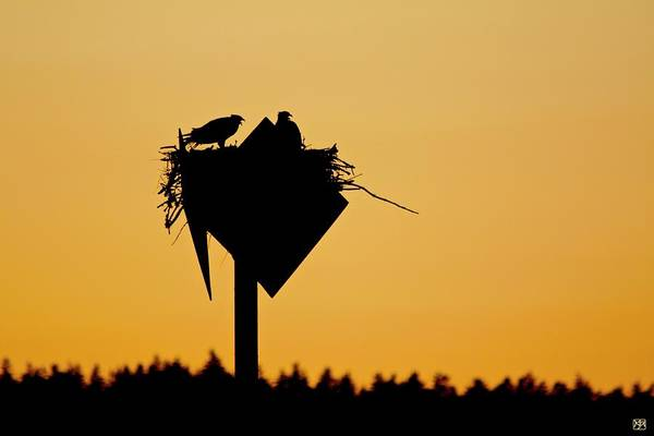 Photograph - Osprey In Southwest Harbor by John Meader