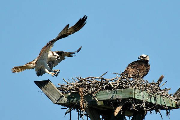 Wall Art - Photograph - Osprey Landing In Nest by Alan Lenk