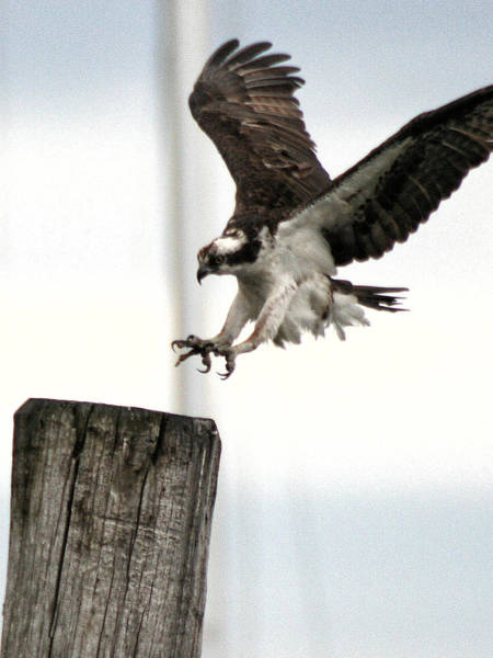 Photograph - Osprey Landing by William Selander