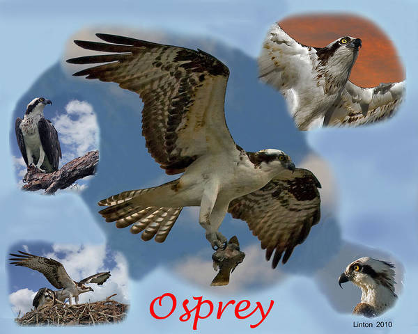 Photograph - Osprey by Larry Linton