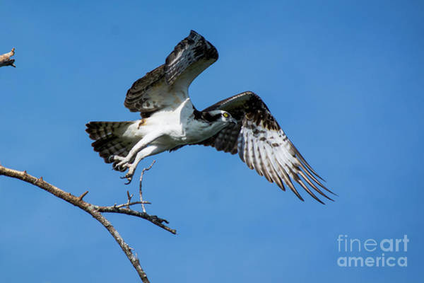 Wall Art - Photograph - Osprey Life by Quinn Sedam