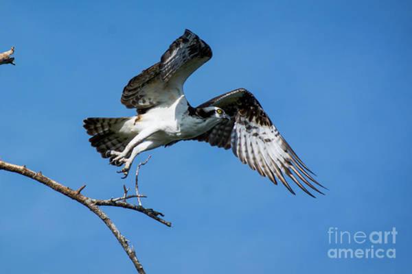 Feather River Wall Art - Photograph - Osprey Life by Quinn Sedam
