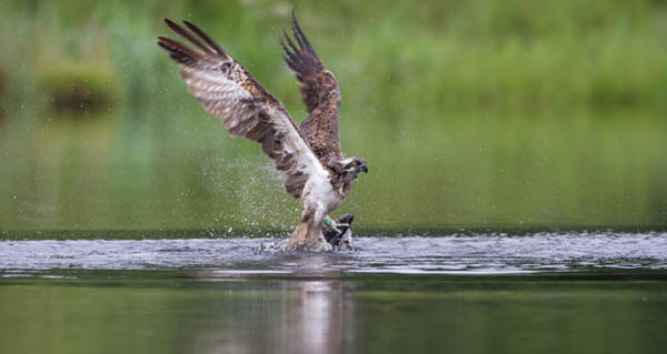 Photograph - Osprey Lifting Out Of Water by Peter Walkden