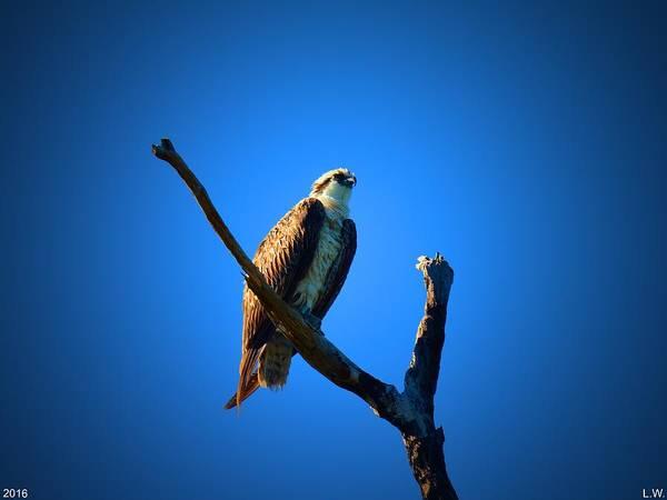 Photograph - Osprey by Lisa Wooten