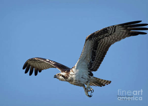 Wall Art - Photograph - Osprey Look by Deborah Benoit