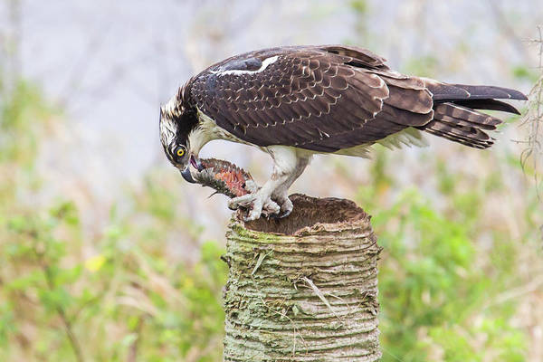 Photograph - Osprey Lunch by Dawn Currie