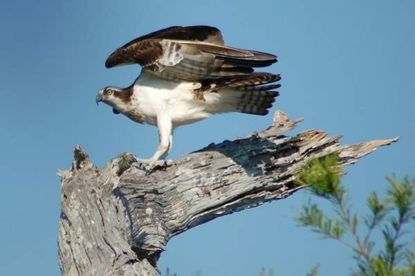 Photograph - Osprey by Michael Raiman