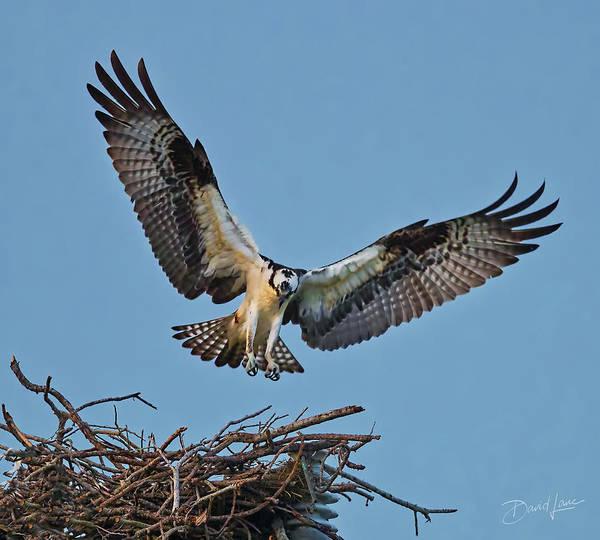 Photograph - Osprey Nest Landing by David A Lane
