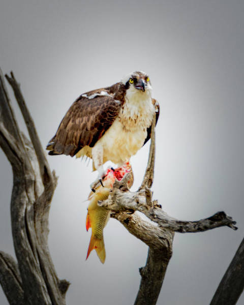 Photograph - Osprey by Norman Hall