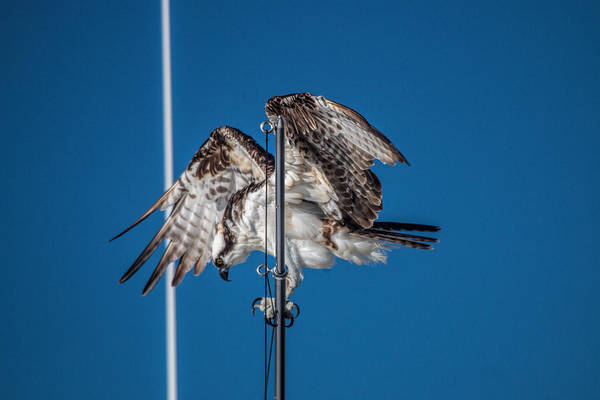 Photograph - Osprey On The Boat Rod by Dorothy Cunningham