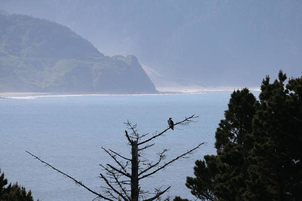 Photograph - Osprey On The Oregon Coast - 4 by Christy Pooschke