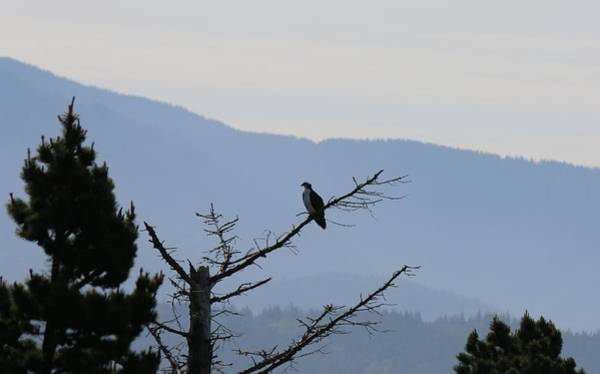 Photograph - Osprey On The Oregon Coast - 5 by Christy Pooschke