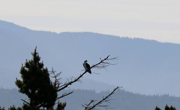 Photograph - Osprey On The Oregon Coast - 6 by Christy Pooschke