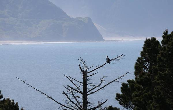Photograph - Osprey On The Oregon Coast  by Christy Pooschke